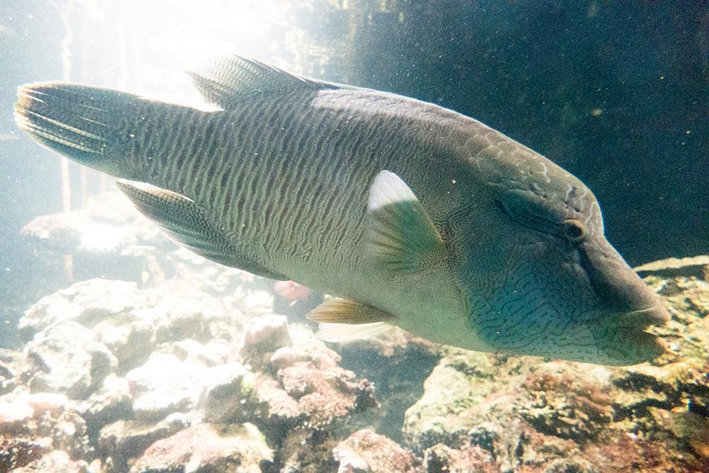 潮境海洋中心內的龍王鯛