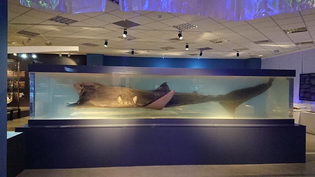 海洋與生態—巨口鯊與牠的夥伴們