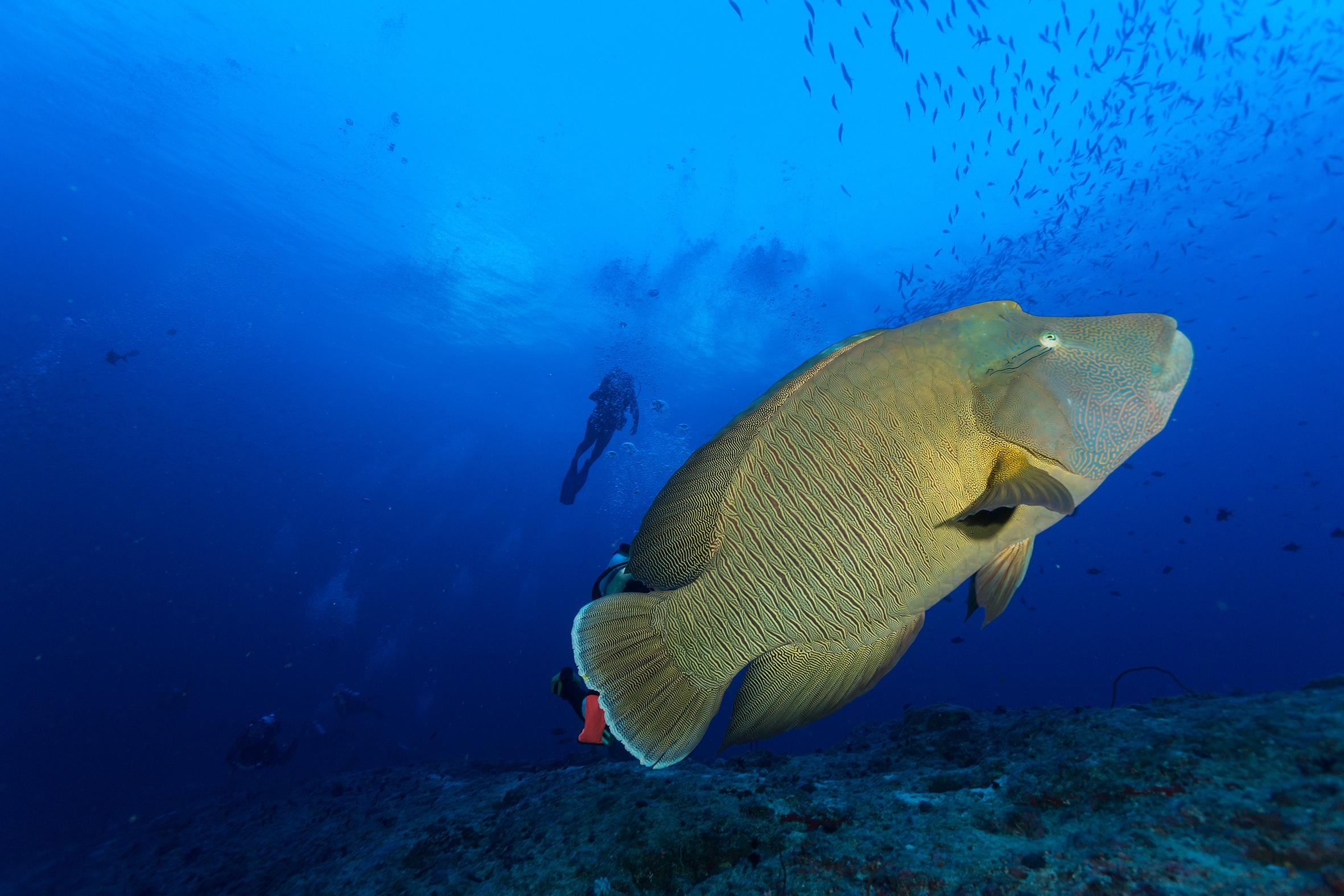 寶可夢鯉魚王真實現身 彷若海底王者