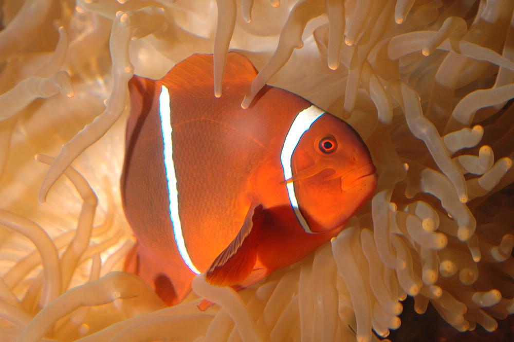潮境海洋中心-小丑魚與珊瑚復育