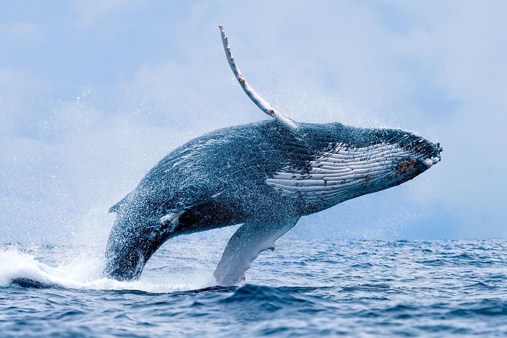 從魔幻、殺戮到欣賞 鯨魚在臺灣的歷史旅程