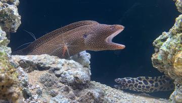 裸胸鯙與清潔蝦