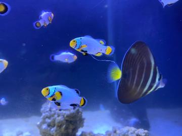 白金小丑魚